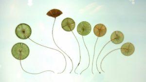 Az Imune alga kapszula 3 fázisa + vásárlás egyszerűen